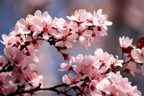 Light Purple by Free Picture Pink Plum Flowers Blossoms Spring Branches