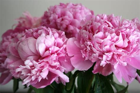 pink peonies stephmodo peonies at costco
