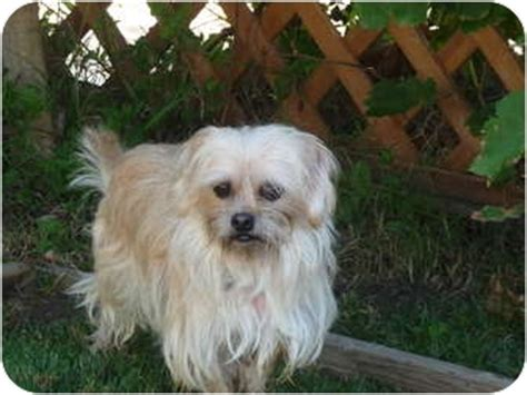 what is a yorkie shih tzu mix called yorkie terriercairn terrier mix for sale in orange hd breeds picture