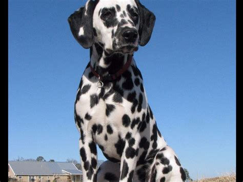 dalmatian puppies for sale oregon miniature australian shepherd puppies for sale in salem oregon breeds picture