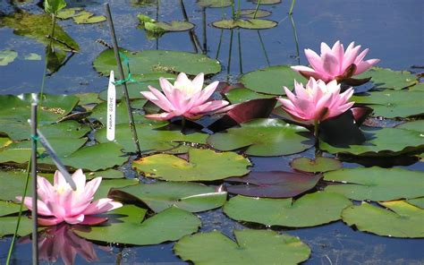 difficult plants to grow are water lilies difficult to grow merebrook pond plants