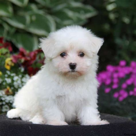 maltichon puppies maltichon puppies for sale maltichon breed profile greenfield puppies