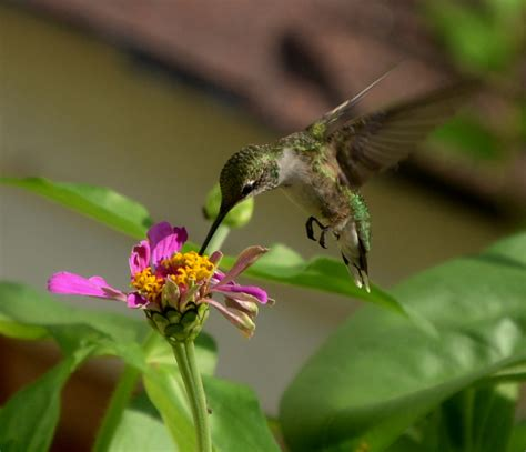 botanica ii flowers that attract hummingbirds and butterflies volume 2 books ruby throated hummingbird hummingbirds flowers and