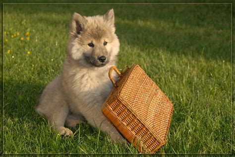 puppies dogs eurasier puppy with a basket photo and wallpaper beautiful eurasier puppy with a