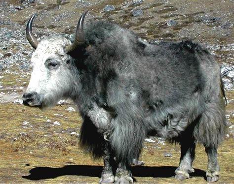google images yak 27 best bison buffalo and yak images on pinterest bison