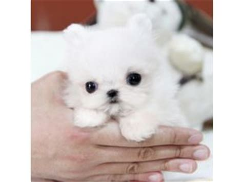 teacup maltese puppies for sale 500 maltese puppies for sale
