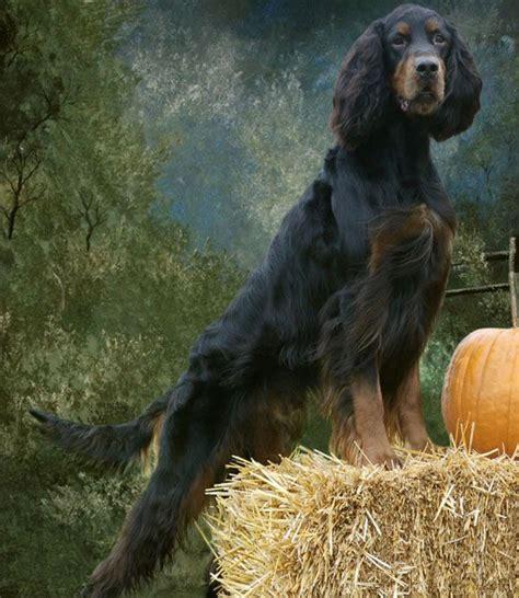 gordon setter hunting dog 26 best images about gordon setter on pinterest limited