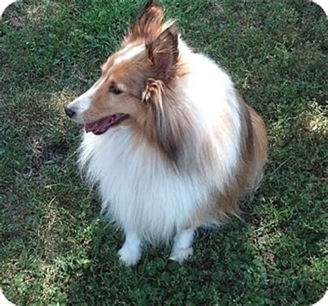 sheltie puppies mn circle pines mn sheltie shetland sheepdog meet bailey a for adoption