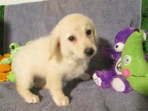 goldendoodle puppy for sale nj goldendoodle puppies for sale puppy breeders breeds