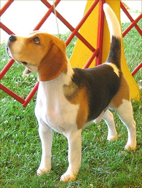beagle hound puppies beagle hound hound breeds from the encyclopedia dogs in depth