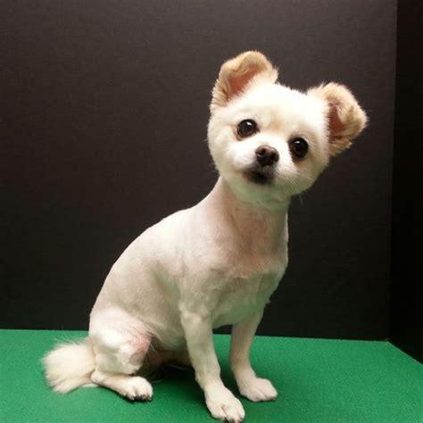 chihuahua haircut cute chihuahua mix short puppy cut dog grooming dog