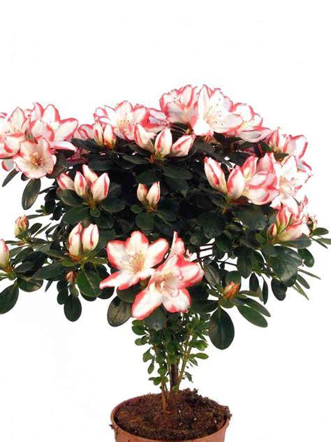 schattige zimmerpflanzen zimmerpflanzen schattiger standort zimmerpflanzen f 252 r den