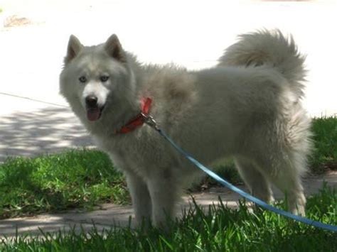 gorgeous akc pure white siberian husky  sale  houston
