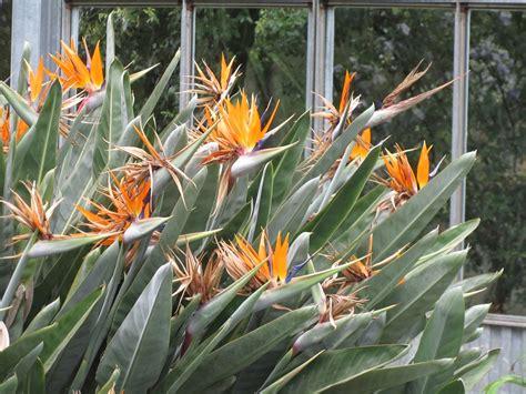 sterlizia fiore come coltivare la strelitzia reginae una pianta dal fiore