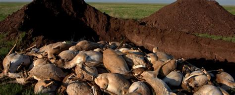 dropped dead here s why 200 000 endangered antelopes dropped dead in