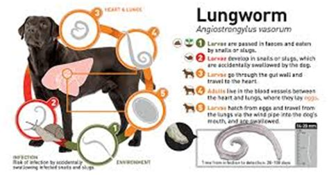 lungworm in dogs lungworm is your at risk cityvet