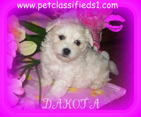 cinnamon maltipoo puppies for sale maltipoo puppies for sale 2017 2018 best cars reviews