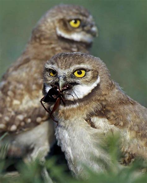 burrowing owl audubon field guide