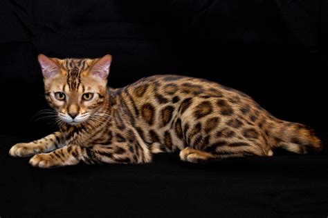 toyger cat toyger wallpapers hd download