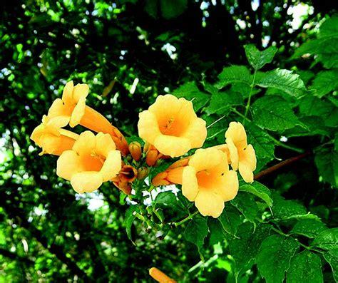 fiori gialli fiori gialli a cana gpsreviewspot