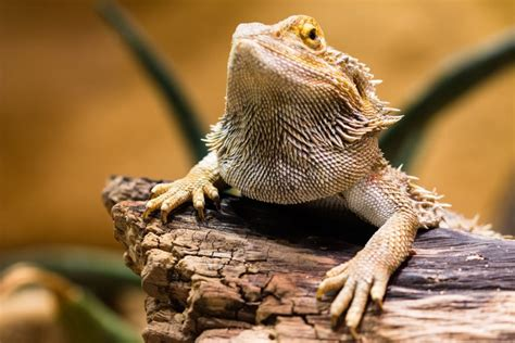 bearded dragon decorations roommates reptifiles