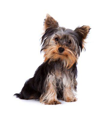 what is the expectancy of a yorkie miniature yorkie breed information