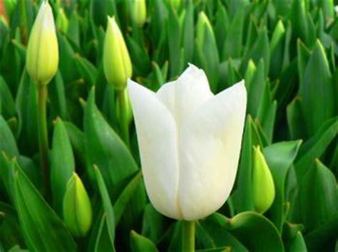 vasi per tulipani tulipano consigli e domande su tulipani bulbi vasi fiori