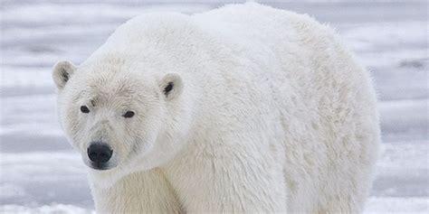 oso polar oso polar 080506902x oso polar 191 por qu 233 es tan importante su extinci 243 n publimetro
