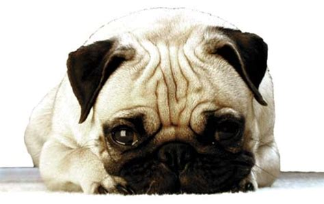 arthritis in pugs home arthritis treatment for pets