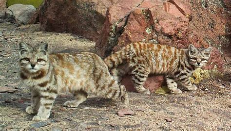 Mountain House Food endangered andean cats hiding out in south america