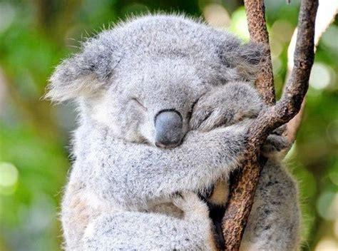 koala hängematte koala il rischio ritorna semieidee