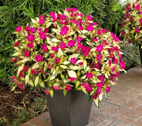 cottage farms 6 piece hot pink lightning sunpatiens