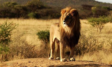 imagenes de animales leon imagenes animales en alta definicion imagen leon en la sabana