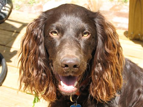 boykin spaniel puppies pin boykin spaniel puppy pictures on
