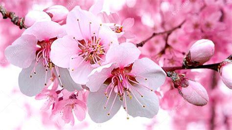 sfondi fiori di ciliegio fioritura sullo sfondo sfocato foto stock
