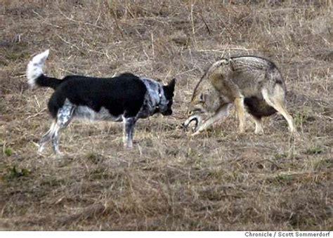 australian shepherd vs australian cattle coyote vs pitbull fight quotes