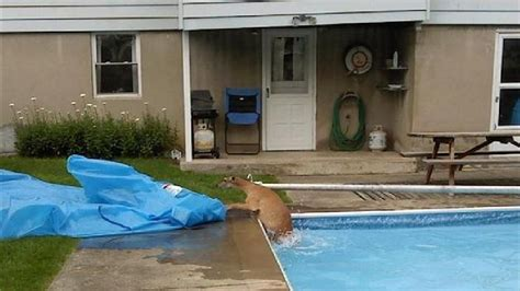 Backyard Rescue Pools Rescue Deer From Solvay Pool Wstm