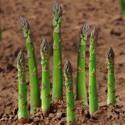 20pcs garden vegetable asparagus officinalis seeds alex nld