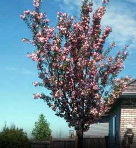 cherry tree zone 7 14 best crabapple trees images on trees crab apples and garden shrubs