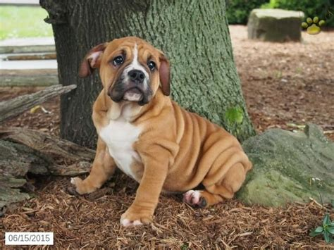 beabull puppies ohio 25 best beabull puppies images on bulldogs puppies for sale and