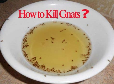 how to kill gnats