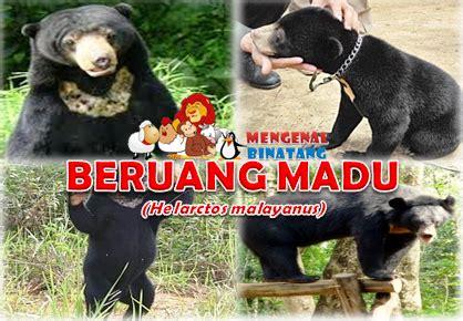 Beruang Thailan mengenal beruang madu helarctos malayanus mengenal