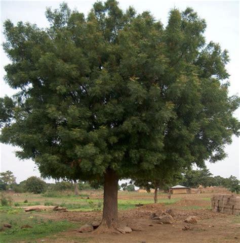 Nim Nim aceite de neem o nim propiedades y usos medicinales