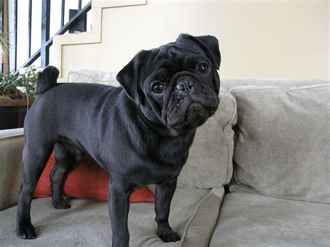 black pug puppie 40 beautiful black pug dogs pictures and images