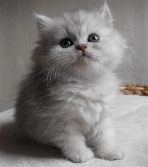 chat on photo un chaton persan