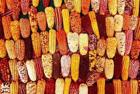 peru color maiz de colores peru mistura expo festival in lima
