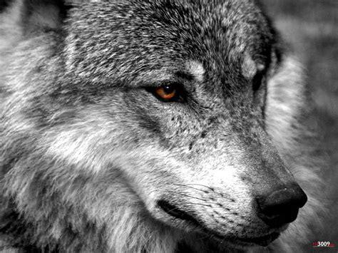 imagenes de negro lobo las monta 241 as del lobo taringa