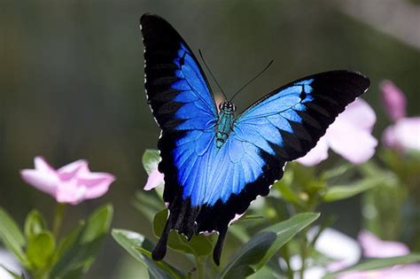 imagenes de mariposa ulises the ulysses butterfly papilio ulysses or the blue