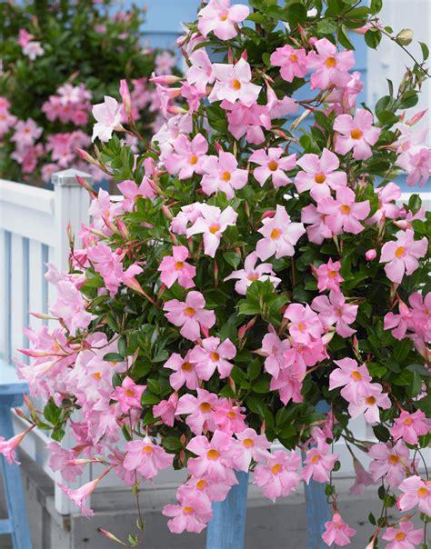 Mandevilla Pink 1 dipladenia sundaville sundaville world 39 s 1