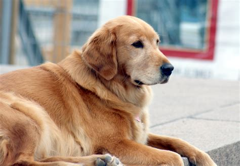 types of golden retriever matrix all about golden dogs and breeds